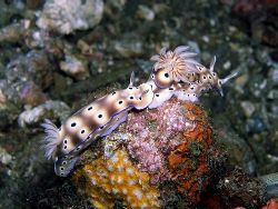 I can see your knickers! Two nudibranches play follow my ... by Rob Spray 